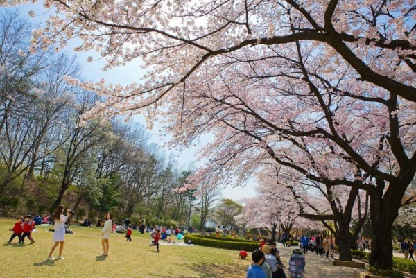[크기변환](사진3) 서울어린이대공원 벚꽃축제.jpg