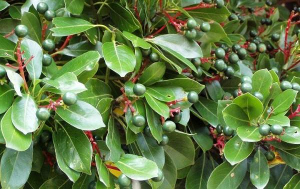[크기변환]산림자원 R&D- 후박나무.jpg