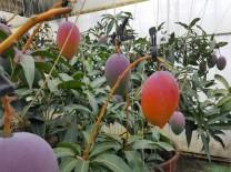 영광군, 아열대과수(망고) 재배 기술교육