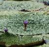 장흥군 삼산호에 핀 멸종위기 가시연꽃