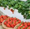 담양군이 만든 신품종 딸기 '메리퀸', 유통전문가 대상 시식평가 호평