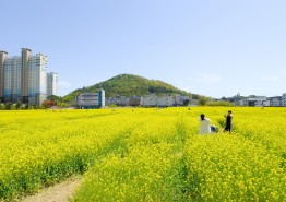 순천만 유채꽃 축제 21일 신대지구에서 열려!