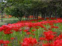 광양시 백운산자연휴양림, 붉게 물든 꽃무릇 향연 펼쳐져