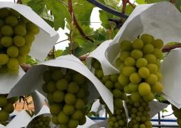 포도 샤인머스켓 적정대목 선택이 농가소득 결정한다