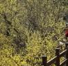 구례 노란 산수유 꽃 만개, 제20회 구례산수유꽃축제 16일 개막